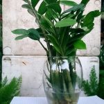 cây kim tiền trồng nước 2