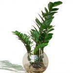 cây kim tiền trồng nước 1