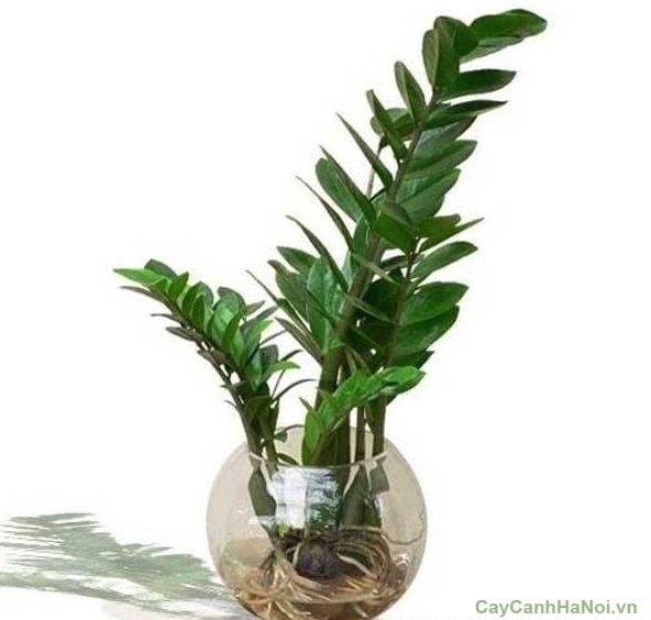 cây kim tiền trồng nước 3
