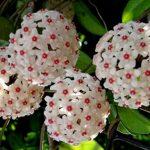 cây lan cẩm cù 1