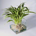 cây lan chi trồng nước 2