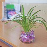 cây lan chi trồng nước 3