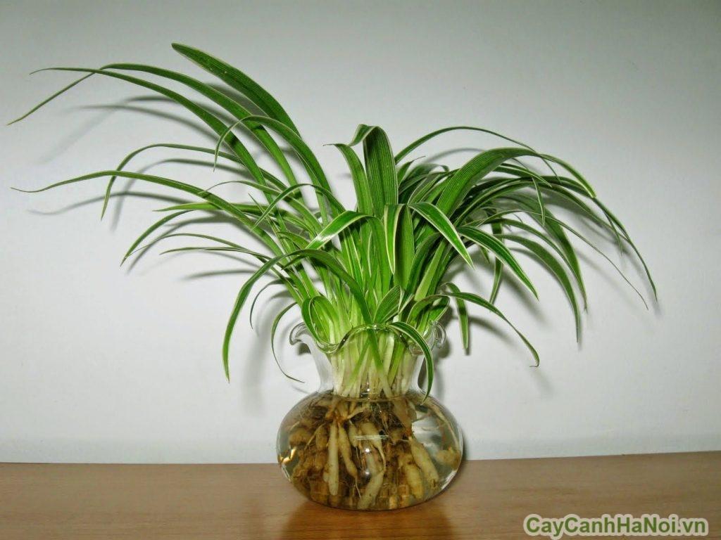 cây lan chi trồng nước 1