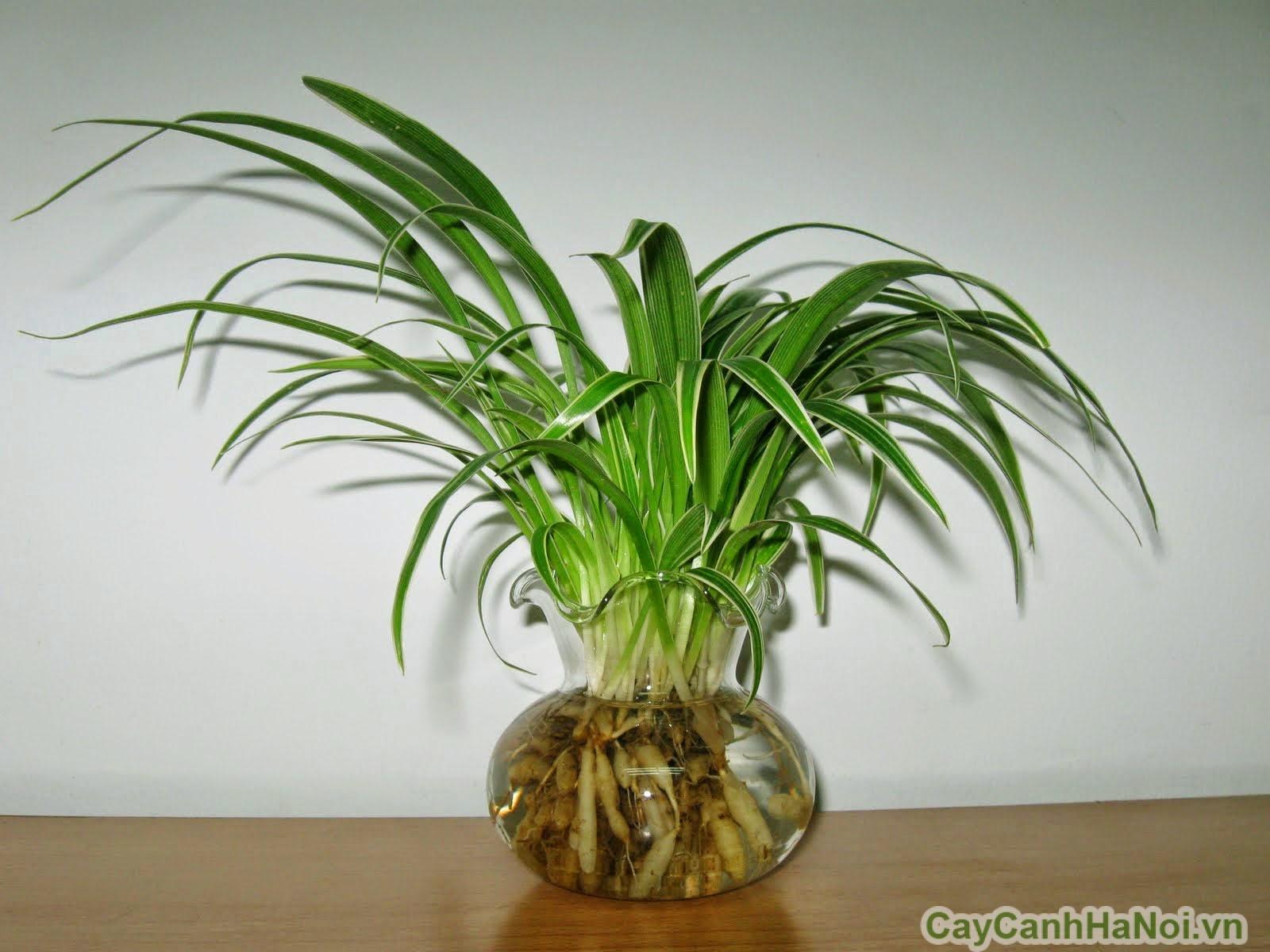 cây lan chi trồng nước 5