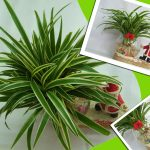 cây lan chi trồng nước 4