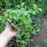 cây lan hạt dưa 2