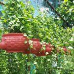 cây lan hạt dưa 1