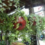 cây lan hạt dưa 4