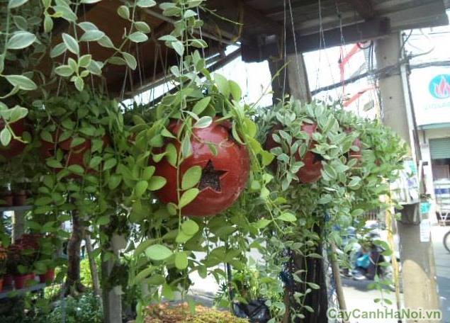 cây lan hạt dưa 5