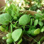 cây lan sò 3