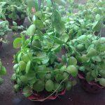 cây lan sò 1
