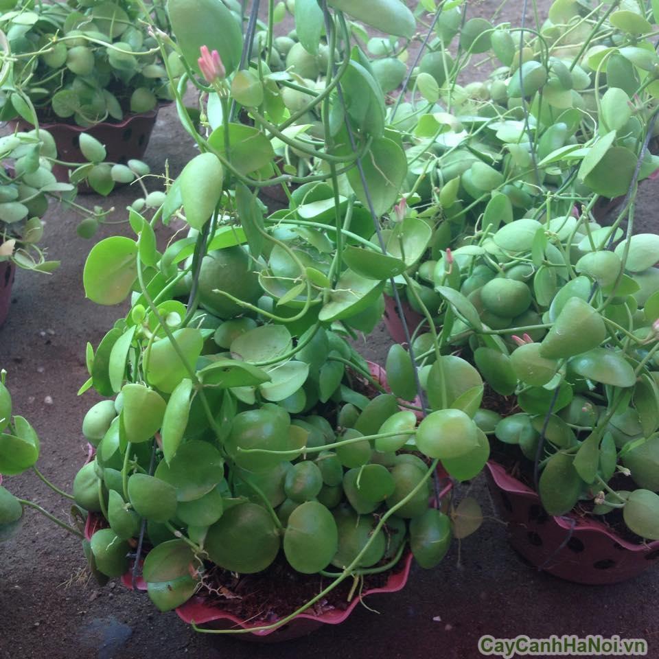 cây lan sò 5
