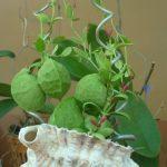 cây lan sò 4