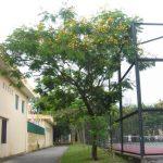 cây lim sẹt 1
