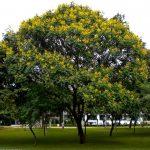 cây lim sẹt 2