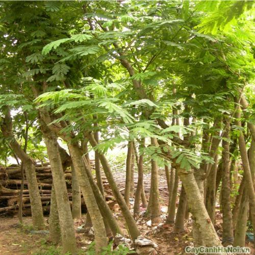 cây lim sẹt 5