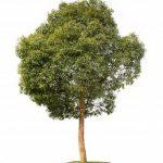 cây long não 5