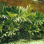 cây mật cật 2
