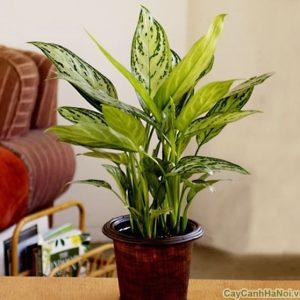cây ngân hậu 5
