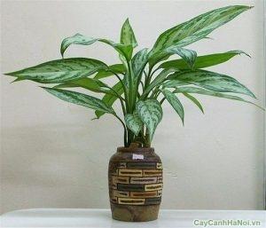 cây ngân hậu 1