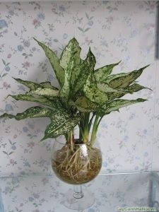 cây ngọc ngân trồng nước 3