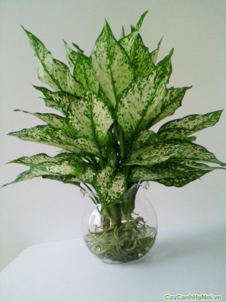 cây ngọc ngân trồng nước 5