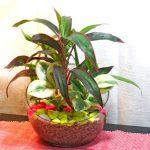 cây phú quý trồng nước 2