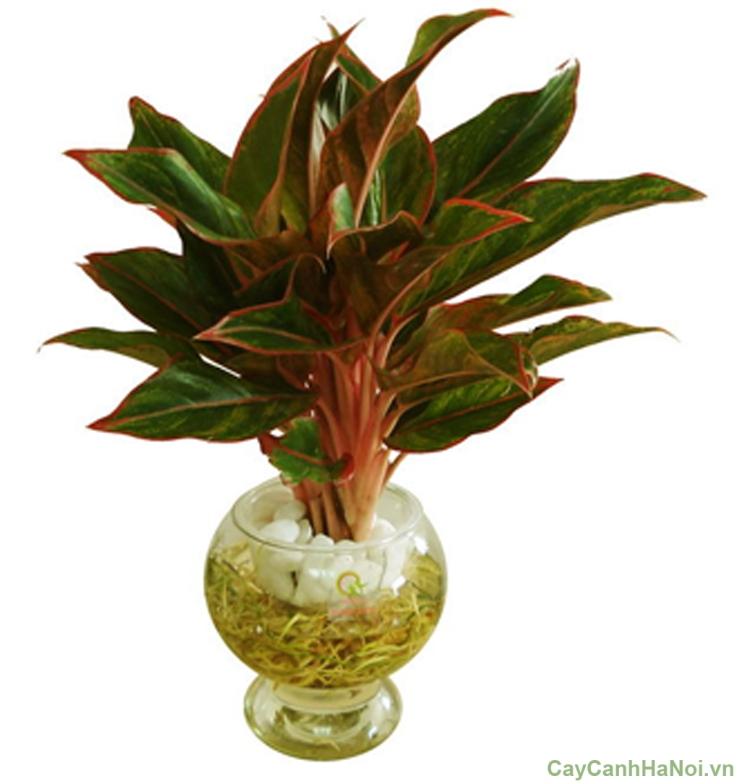 cây phú quý trồng nước 1
