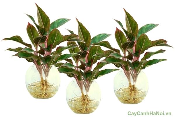 cây phú quý trồng nước 5