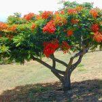 cây phượng 5