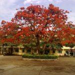 cây phượng 2