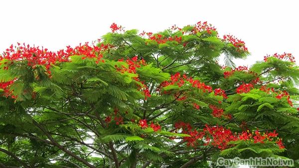 cây phượng 3