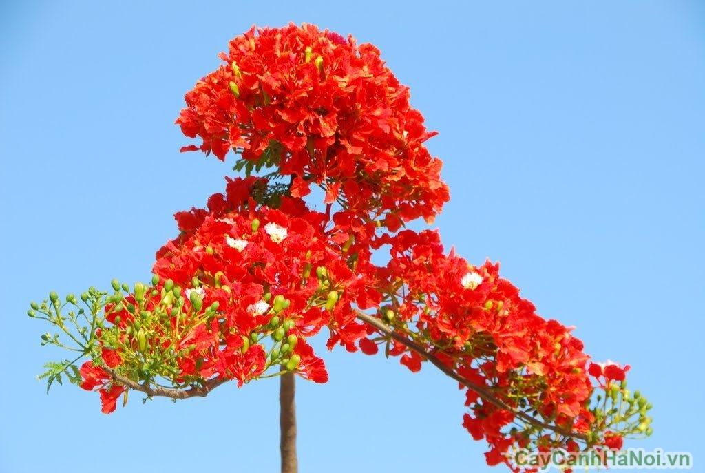 cây phượng vĩ hoa đỏ 4