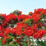cây phượng vĩ hoa đỏ 3