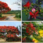 cây phượng vĩ hoa đỏ 2