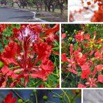 cây phượng vĩ hoa đỏ 1