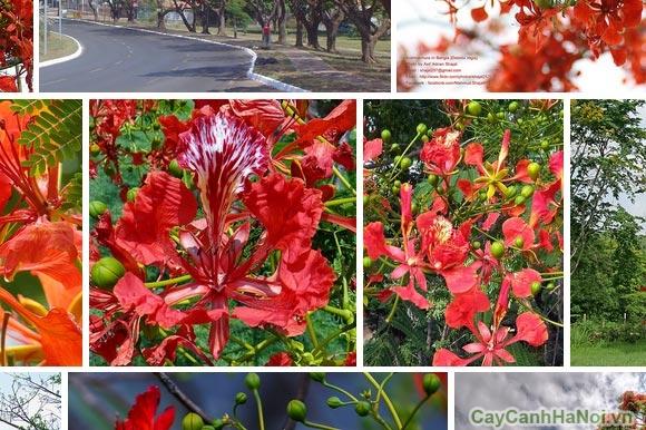 cây phượng vĩ hoa đỏ 5