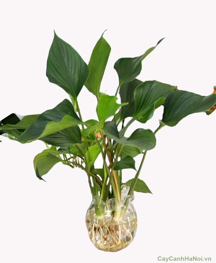 cây thanh tâm trồng nước 4