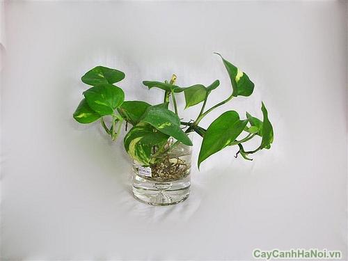 cây trầu bà trồng nước 5