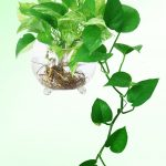 cây vạn niên thanh trồng nước