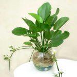 cây vạn niên thanh trồng nước 1