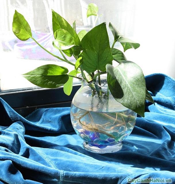 cây vạn niên thanh trồng nước 4