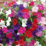 Treo chậu hoa dạ yến thảo