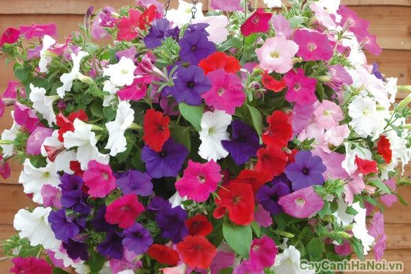 hoa dạ yến thảo 4