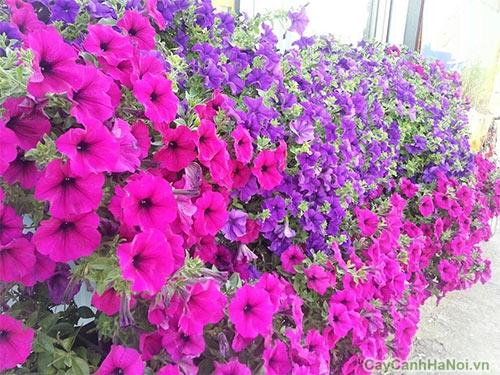 hoa dạ yến thảo 5