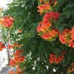 hoa đăng tiêu 4