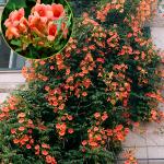 hoa đăng tiêu 1
