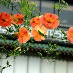 hoa đăng tiêu 2