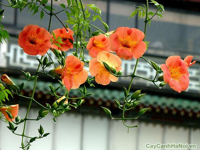 hoa đăng tiêu 5
