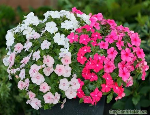 hoa dừa cạn 5